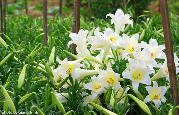 For the lilies to bloom at the right time, the seeds are sown at the end of previous year.