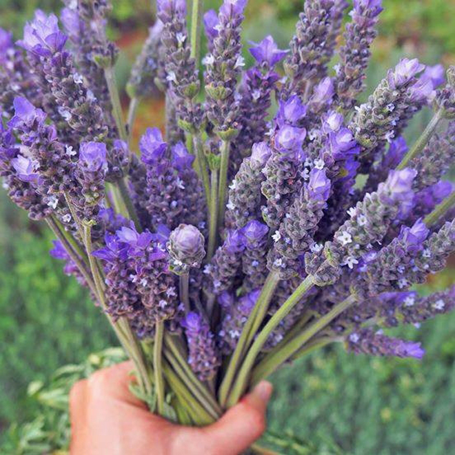 The three main kinds of lavender grown here are Lavandula dentata, Lavandula 'Goodwin Creek Grey' and Lavandula stoechas.