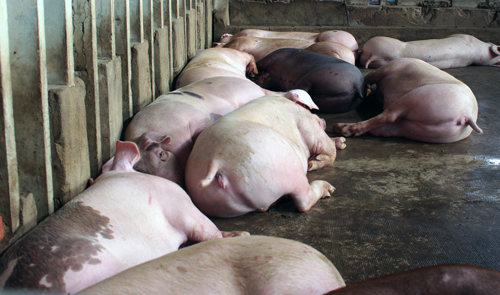100-pigs-disposed-after-banned-growth-stimulant-detected-1