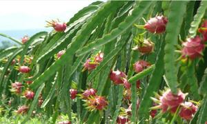 Vietnamese dragon fruit to enter Australian market