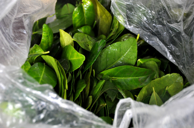 Fresh lime leaves, the most important aromatic compliment to the popular boiled chicken, around the corner in the north but almost nowhere to be found in the south.