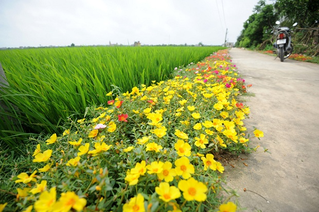 Now lines of flowers light up the way home for a whole community in Nam Dinh.