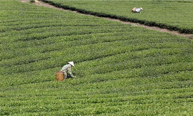 Low quality drags down Vietnam`s tea exports