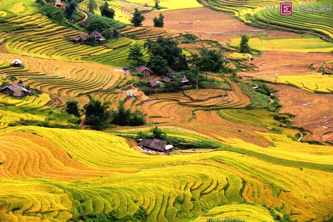 a-golden-season-in-the-rice-paddies-1