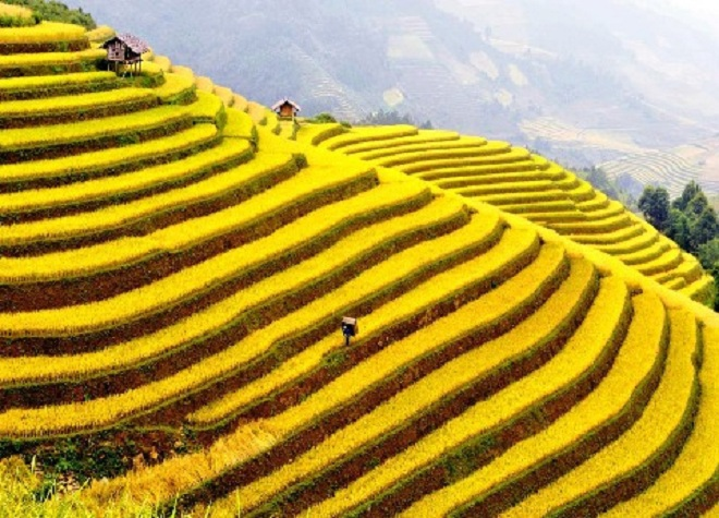 a-golden-season-in-the-rice-paddies-5