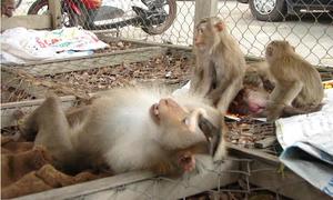 Rangers rescue rare monkeys in Vietnam's Central Highlands