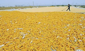 Vietnamese farmers sow the seed of GM crops