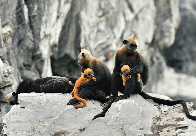 The white-headed langur (Trachypithecus poliocephalus) is a critically endangered langur. There exist about 70 individuals in Cat Ba Island in the northern coastal city of Hai Phong. It is also one of the top 25 most endangered primates in the world. Photo by Nguyen Van Truong
