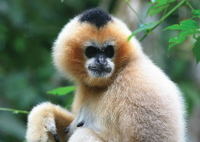 The northern white-cheeked gibbon (Nomascus leucogenys) is a species of gibbon native to South East Asia. They are found in some natural reserves in Vietnam. The biggest group of the primate, about 450 individuals, is believed to live in the Pu Mat National Park in the central province of Nghe An. Photo by Fan Peng Fei