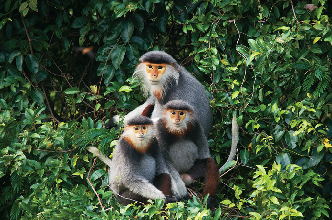 The red-shanked douc (Pygathrix nemaeus) is among the most colourful of all primates. They exist in Vietnam, Laos and Cambodia and are also on the verge of extinction. The douc eats and sleeps in the trees of the forest.