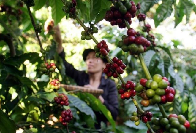Vietnam coffee exports grew in 2016 despite drought