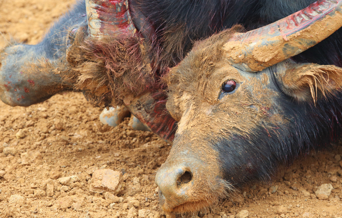 violent-scenes-overwhelm-buffalo-fighting-festival-in-northern-vietnam-ed-3