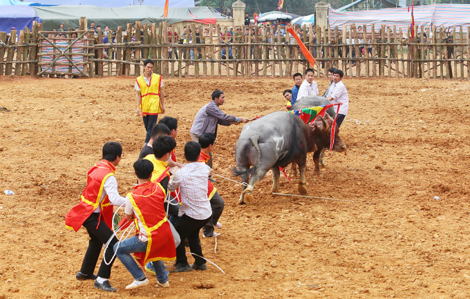 violent-scenes-overwhelm-buffalo-fighting-festival-in-northern-vietnam-ed-6
