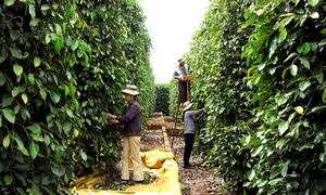 New standards in EU, US could hurt Vietnamese pepper