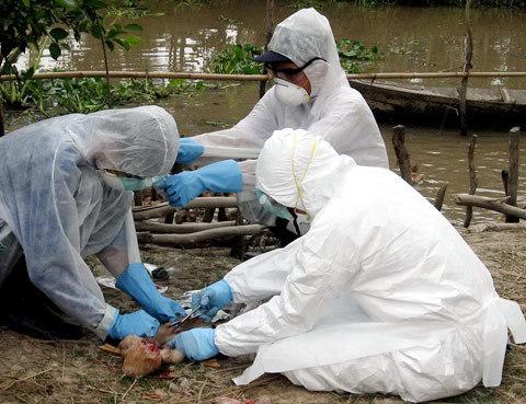 Bird flu returns to Vietnam; outbreaks kill thousands of poultry