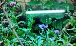Police detect 113 opium poppies in Vietnamese farmer's garden