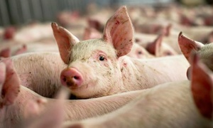 Vietnam to export pork to China amid supply glut