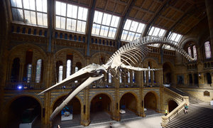 London museum introduces whale skeleton