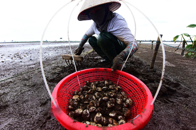 farming-on-the-beach-how-clams-spring-to-life-in-northern-vietnam-3