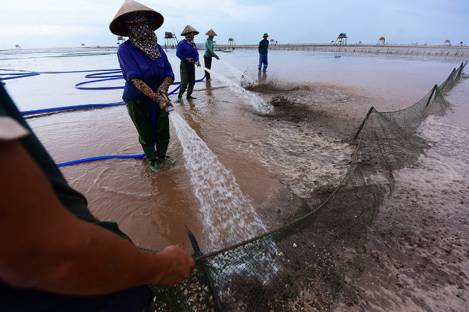farming-on-the-beach-how-clams-spring-to-life-in-northern-vietnam-8