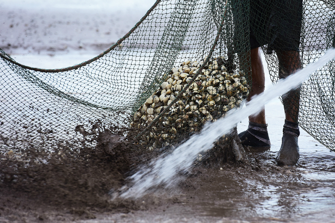 farming-on-the-beach-how-clams-spring-to-life-in-northern-vietnam-6