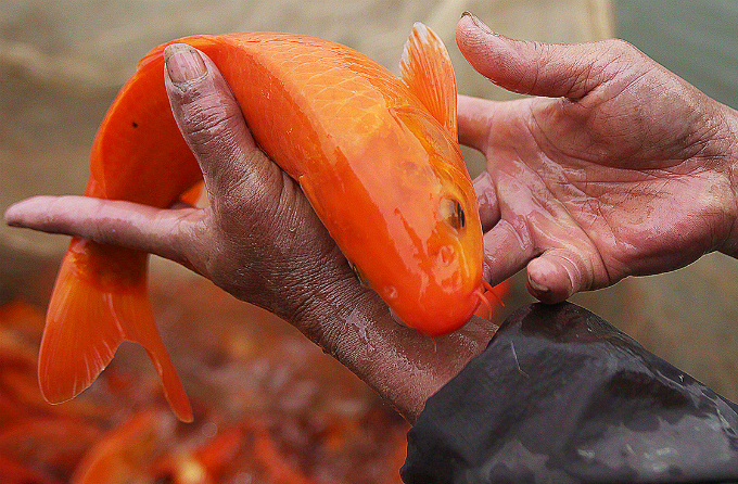 This parent fish costs VND150,000 ($7).