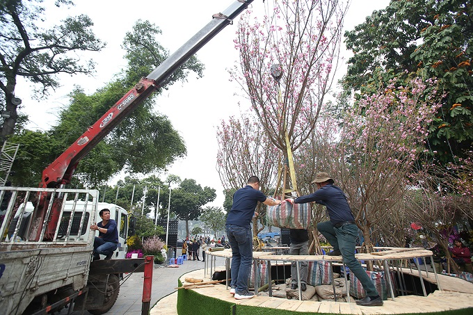 People are working round the clock setting up cherry blossoms imported from Japan for the festival in Hanoi. Photo by VnExpress/Ngoc Thanh