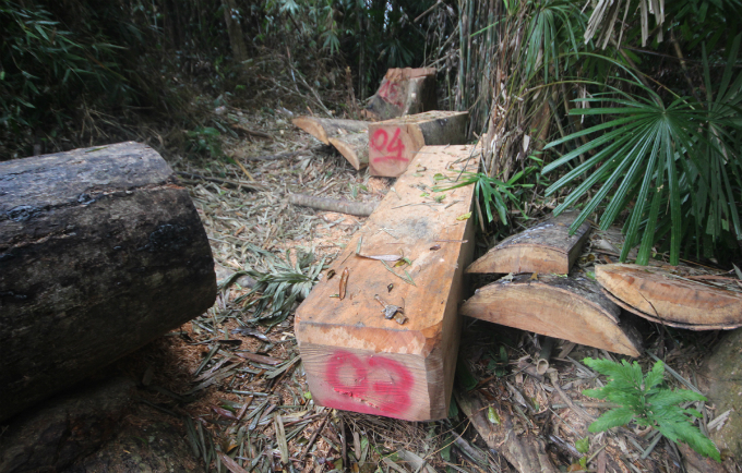 A part of Song Kon, a protection forest in Vietnams central province of Quang Nam, has turned into timber under the hands of poachers