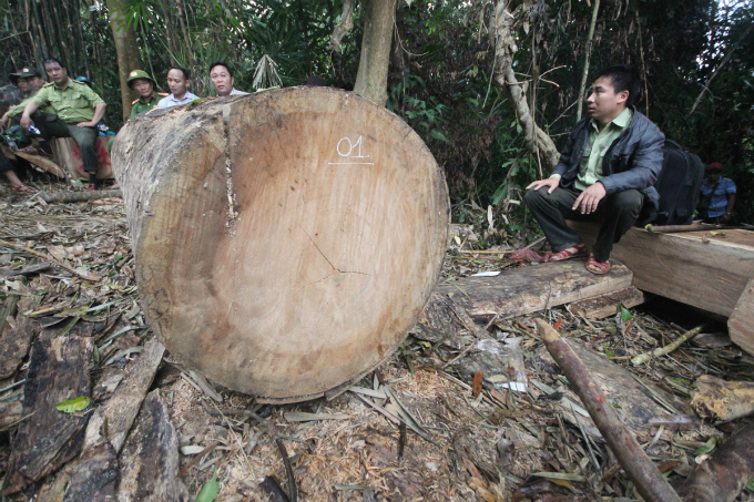 But the situation was just discovered Friday when the provincial authorities, led by deputy mayor Le Tri Thanh, took a tour to the forest to check on illegal logging.