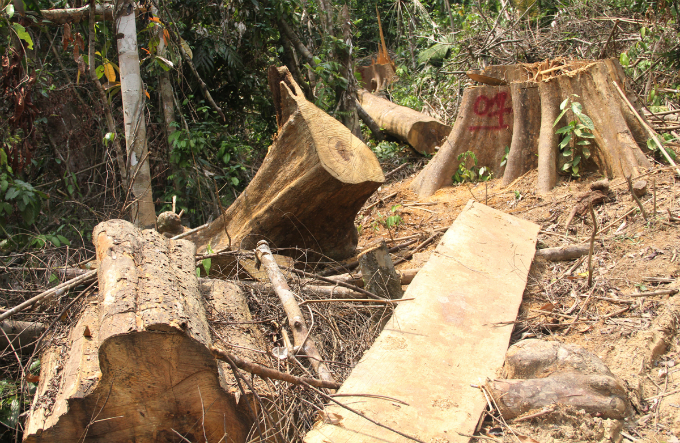 As many as 33 big trees measuring over 72 cubic meters have been cut down.