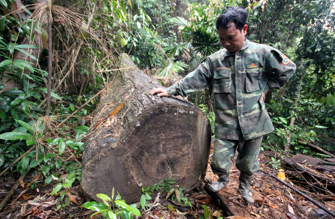 This one has a diameter of more than one meter. Poachers have been cut down big trees for months but somehow the authorities did not find out, a local told VnExpress.