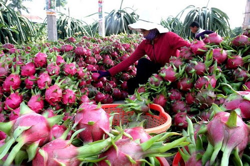 Tropical delicacy: Vietnamese agricultural products rack in big cash at global markets - 5