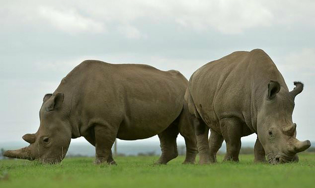 Pregnancy of southern white rhino at US zoo could save subspecies
