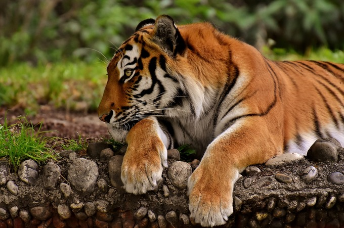 Vietnamese charged as Czech police find shot tiger