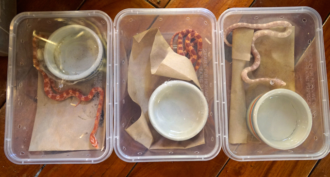 Petting snakes as a hobby does not take up much space. Dozens of Tungs snakes are housed in small perforated plastic boxes and placed neatly in his house corners.