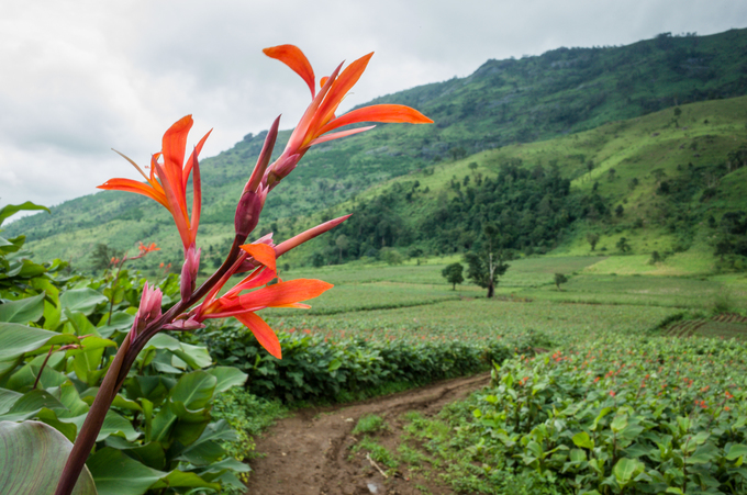 Watch the Canna lily flowers bloom as you climb this Central Highlands volcano (send to Hari) - 3