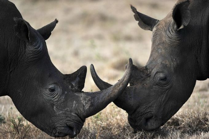 China permits limited trade of rhino, tiger goods