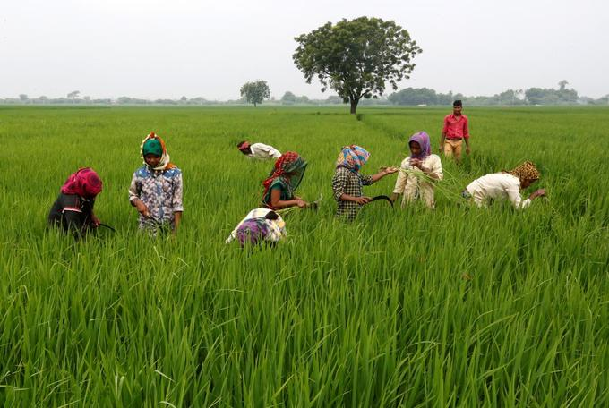 Asia Rice: Indian rates gain for third week; markets eye Philippine order
