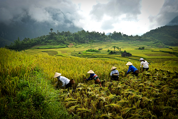 Farmers harvest paddy in northern Vietnam. Photo by Luu Trong Thang/VnExpress Photo Contest