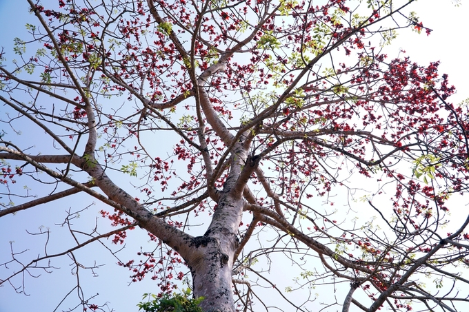 Kapok trees paint the town red on central coast - 1