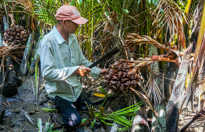 Picking nipa palm fruits in swamp in suburban Saigon - 2