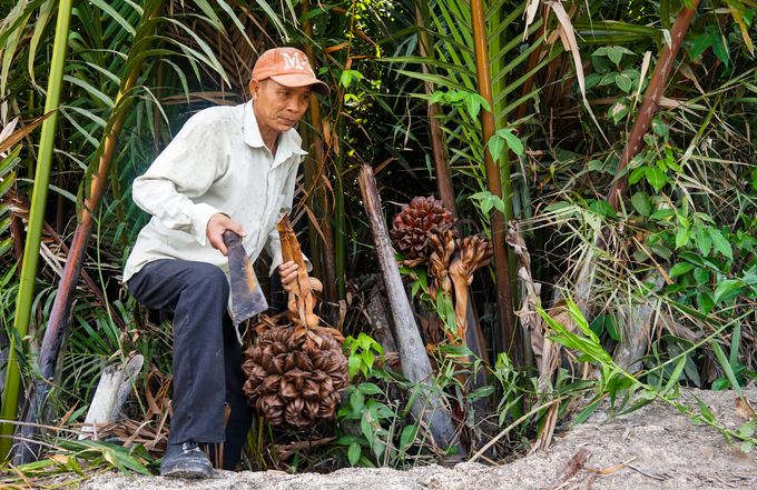 Picking nipa palm fruits in swamp in suburban Saigon - 5