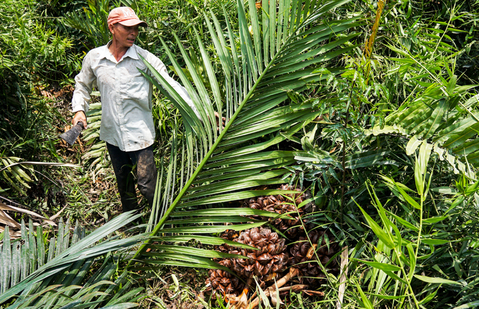 Picking nipa palm fruits in swamp in suburban Saigon - 6
