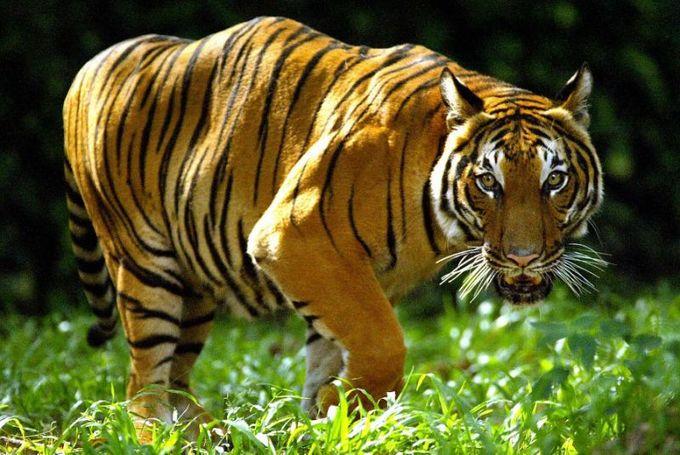 Malaysia arrests Vietnam poachers, seizes tiger, bear parts