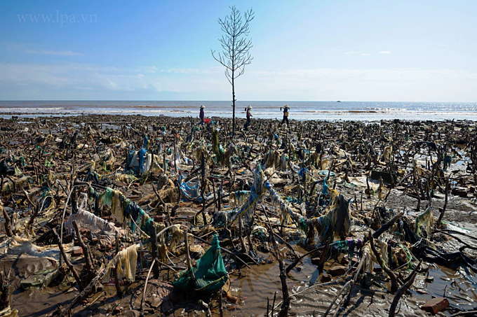 A dead forest with many plastic bags stuck in the trees in Quat Lam District,Nam Dinh Province. Photo by Nguyen Viet Hung