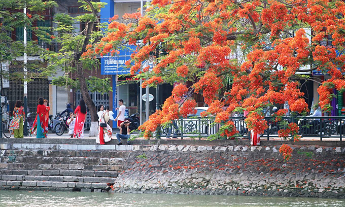 Red blossoms light up northern Vietnam city - 1