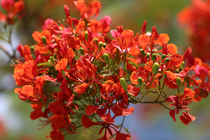 Red blossoms light up northern Vietnam city - 3