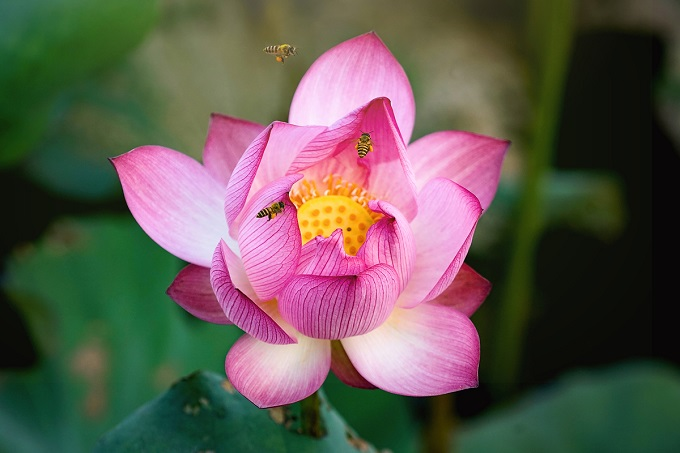 Lotus season attracts selfie bees - 10