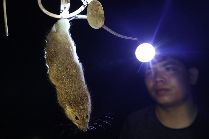 In northern Vietnam, a rich rodent yield from a rice field - 6
