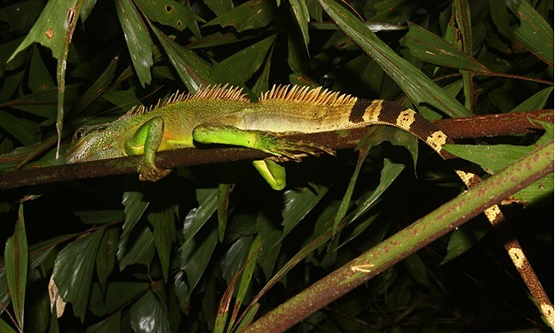 Treated as food and pet, Asian water dragon endangered in Vietnam